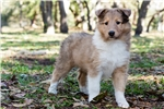 Collies for sale