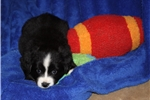 Picture of ASDR Raindrop-small mini or large Toy Aussie