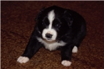 Picture of Raindrop-small mini or large Toy Aussie