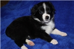 Picture of ASDR Petite-Tiny toy aussie