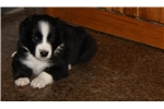 Picture of ASDR River- small mini or large Toy Aussie