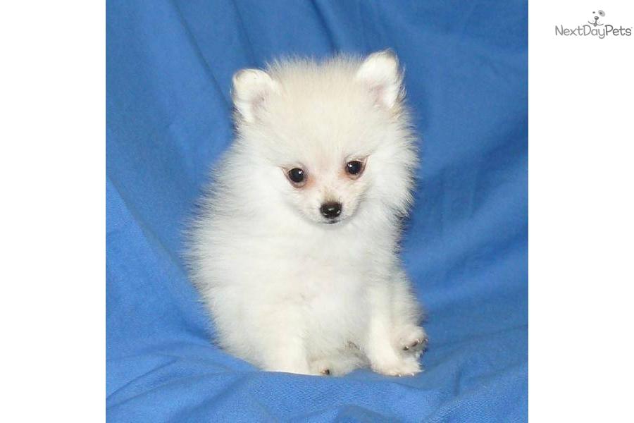 Pomeranian Puppies for Sale   Lancaster Puppies ®