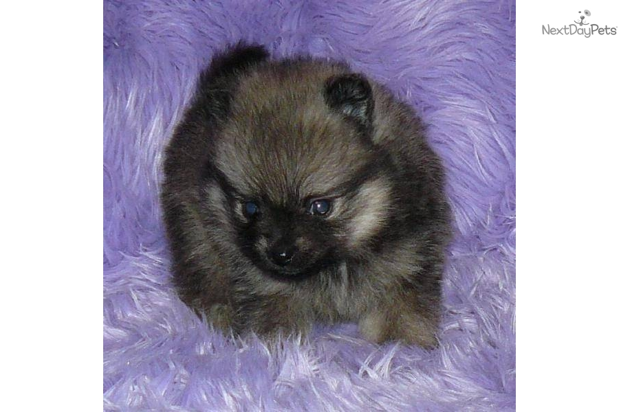 Wolf sable pomeranian puppies