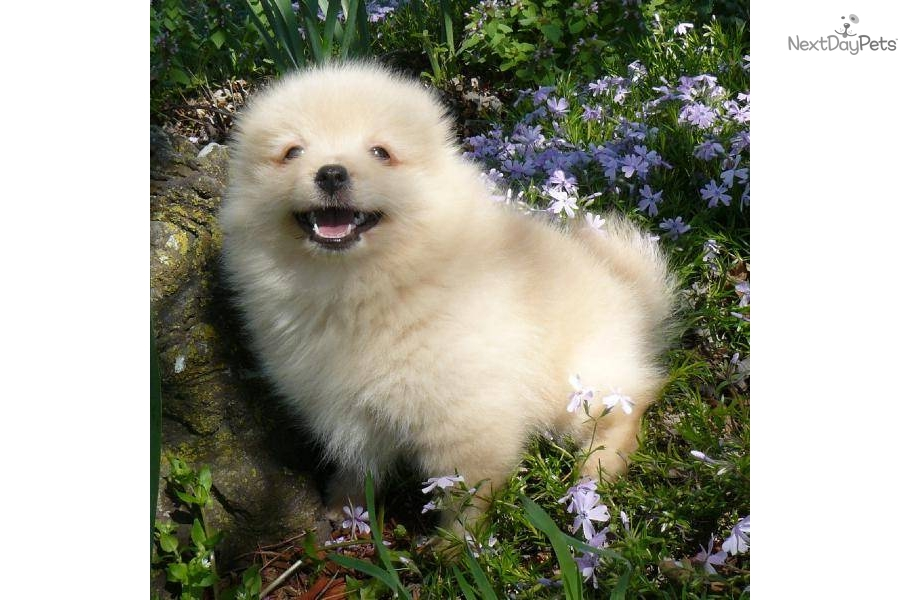 Meet cuddles a cute pomeranian puppy for sale for 900 teacup darling