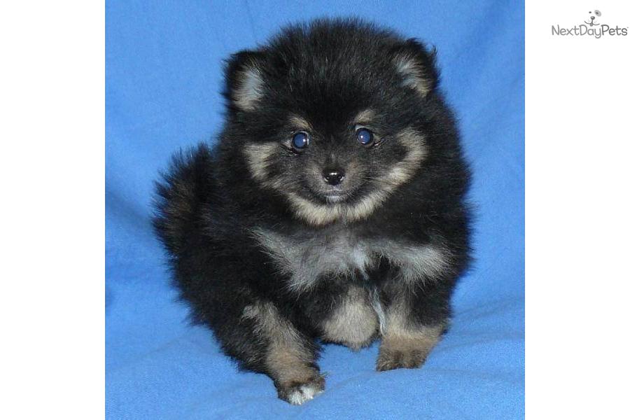 Pomeranian puppy for sale near Springfield, Missouri ...