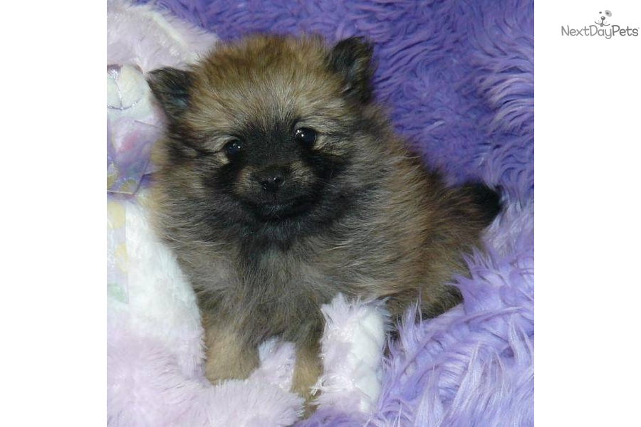 Teddy Bear Puppies In Missouri Dog Breeds Picture