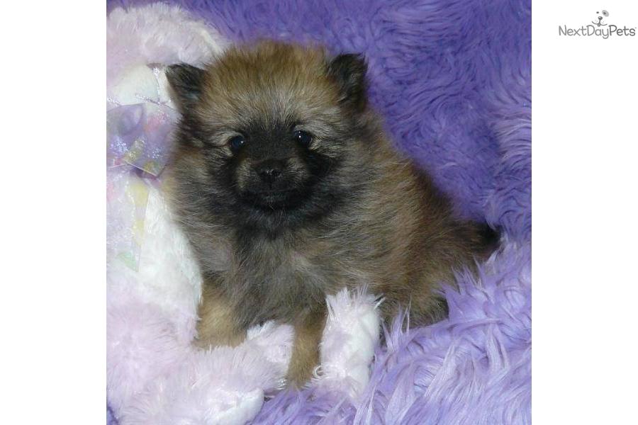 black teddy bear pomeranian - photo #44