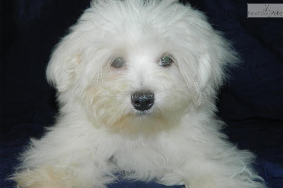 Maltese Puppy For Sale Near Springfield Missouri