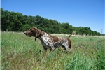 Picture of GSP Female of European Championship Bloodline