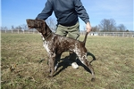 Picture of GSP Male of European Championship Bloodline