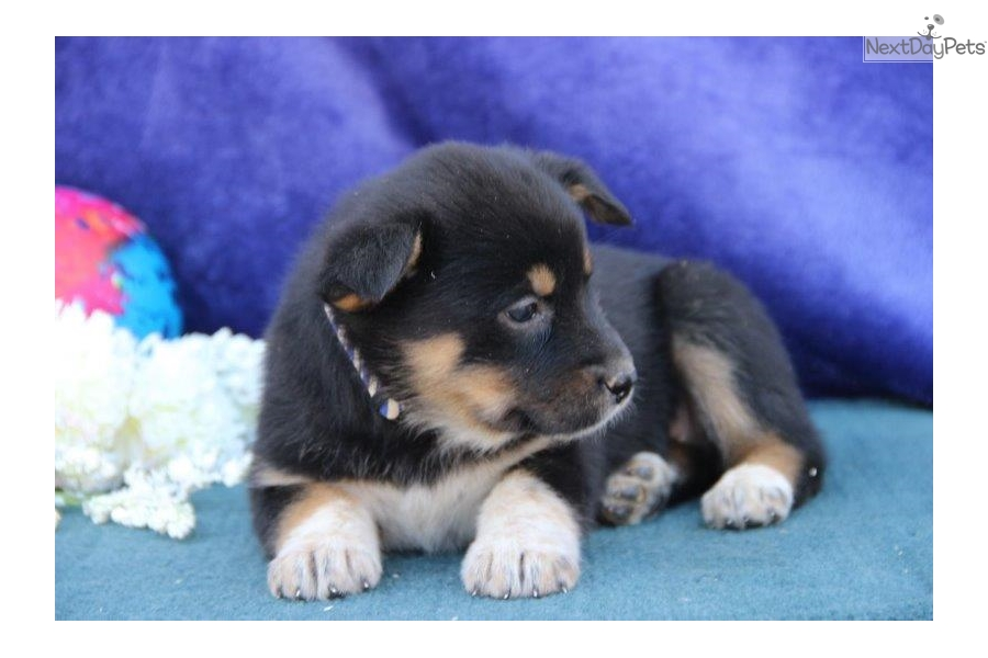 alaskan malamute puppies for sale in lancaster pa
