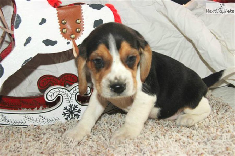 Winchester Dog Show Beagle