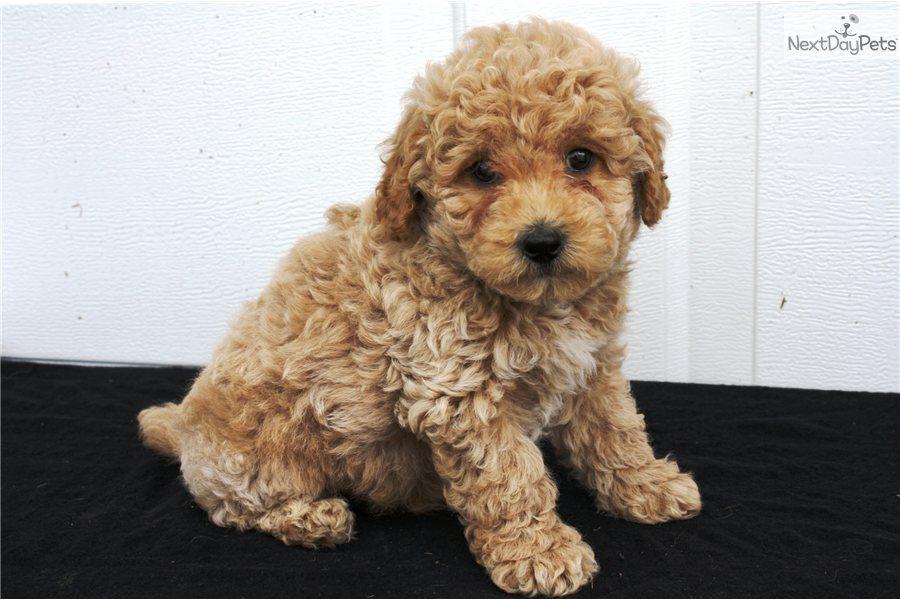 bich poo   bichpoo puppy for sale near lancaster