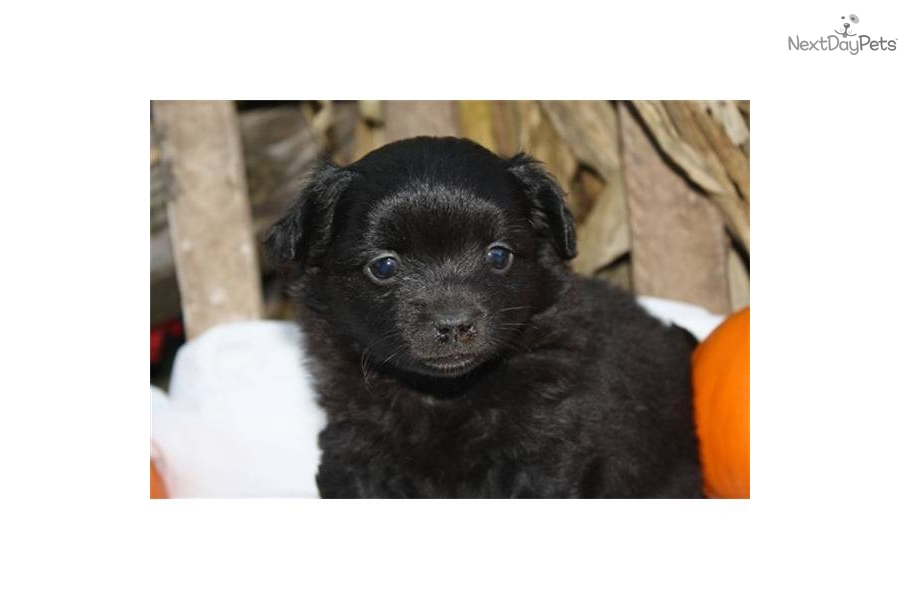 "Midnight EH Pomchi Male Puppy ""Really Nice Puppy"""