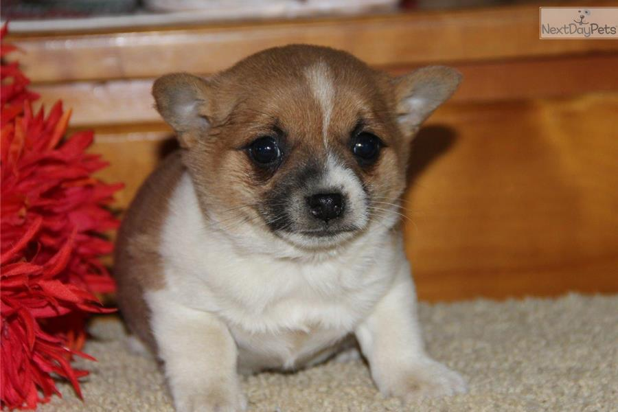 Jack russell pomeranian mix puppies