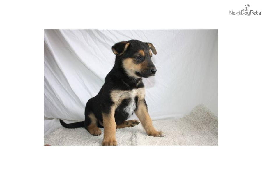 ... puppy for sale for $250. Robby SE Blue/Heeler/German Shepherd MIX