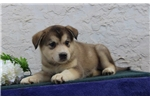 Picture of Bobby AB Malamute/Blue Heeler Mix Fine &Focused