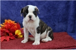 American Bulldogs for sale