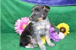 Picture of Tanner  Beautiful Australian Cattle Dog Pup RDY5/5