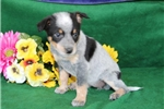 Picture of Alisa K Beautiful Australian Cattle Dog Pup RDY5/5