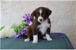Picture of Deva   SMCutest Australian Shepherd Pup Rdy 7/11