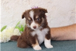 Picture of Dove   SMCutest Australian Shepherd Pup Rdy 7/11