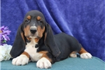 Picture of Teddy  SZ  Healthy Basset Hound Puppy Ready 7/11