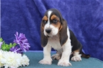 Picture of Jimmy  SZ  Healthy Basset Hound Puppy Ready Now