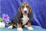 Picture of Jimmy  SZ  Healthy Basset Hound Puppy Ready 7/11