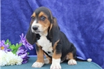 Picture of Judy  SZ  Healthy Basset Hound Puppy Ready 7/11