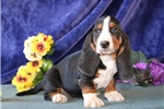 Basset Hound for sale