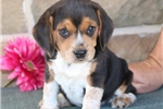 Picture of Ben HS Male Beagle Puppy