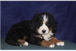 Picture of Victoria IH  Gentle Giant  Bernese Mt. Dog Puppy