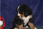 Picture of Vernon IH  Gentle Giant  Bernese Mt. Dog Puppy