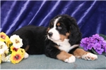 Picture of Logan  AG  Beautiful Bernese Mt. Dog Puppy RDY Now