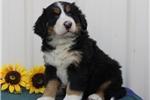 Picture of Karlee  BI  Healthy Bernese Mt Dog Puppy
