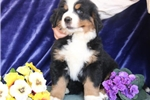 Picture of Caleb  AG  Beautiful Bernese Mt. Dog Puppy RDY Now