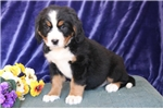 Picture of Peace AG  Beautiful Bernese Mt. Dog Puppy RDY Now