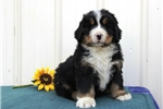 Finley  BI  Healthy Bernese Mt Dog Puppy | Puppy at 6 weeks of age for sale