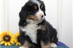 Picture of Finley  BI  Healthy Bernese Mt Dog Puppy