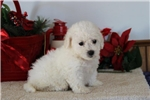 Bichon Frise for