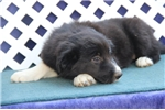 Picture of Grenadine JESmart Female Border Collie Pup Rdy Now