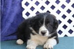Picture of Shirley JE  Smart Female Border Collie Pup Rdy Now