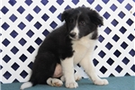 Picture of Sprite  JE  Smart Border Collie Puppy Ready Now