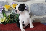Picture of Ivory MH   Healty BostonTerrier Puppy Ready 7/25