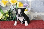 Picture of Whitney MH   Healty BostonTerrier Puppy Ready 7/25