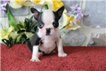 Picture of Huston MH   Healty BostonTerrier Puppy Ready 7/25