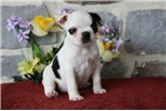 Picture of Mandy MH   Healty BostonTerrier Puppy Ready 7/25