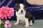 Picture of Emmy PDZ Healthy BostonTerrier Puppy RDY3/3