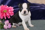 Picture of Cherish PDZ Healthy BostonTerrier Puppy RDY3/3